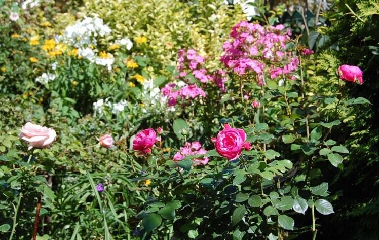 Rosa Pomponella, Rosa Aphrodite
