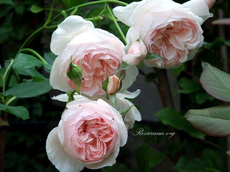 Róża angielska Heritage