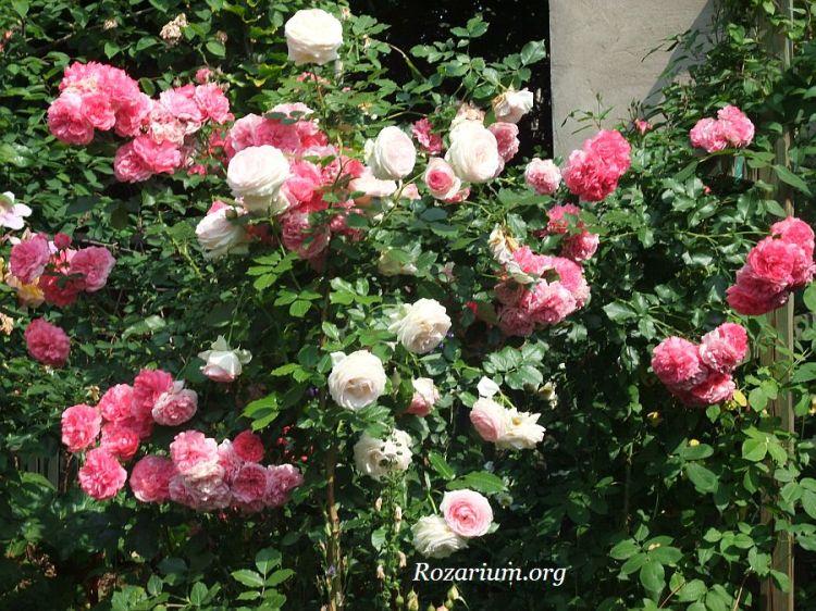 Eden Rose + Rosarium