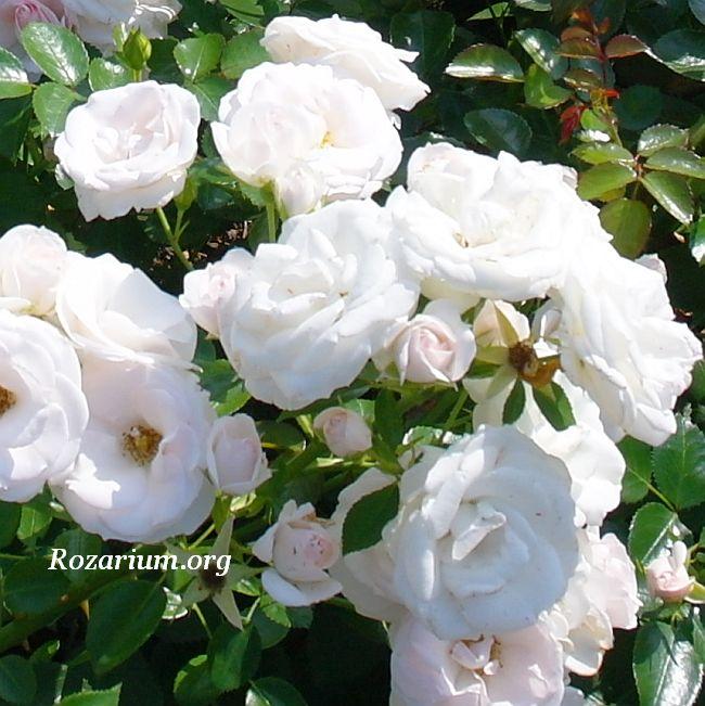 Aspirin-Rose / Tantau 1998