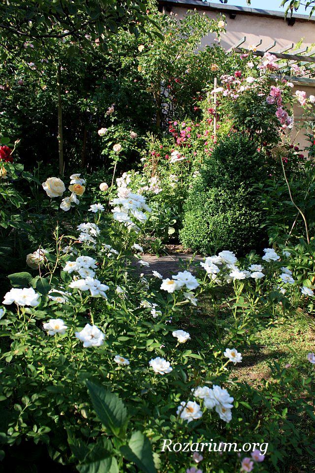 róża okrywowa White Cover