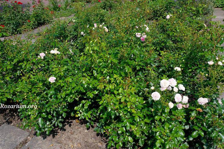 Róża Larissa (Kordes 2008)