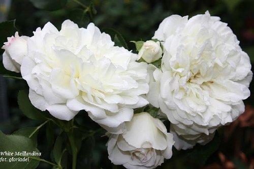 White Meillandina