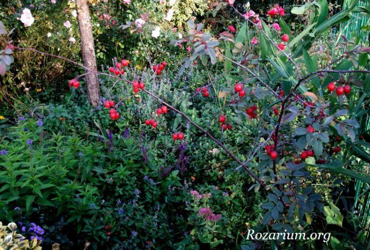 Rosa glauca - owoce