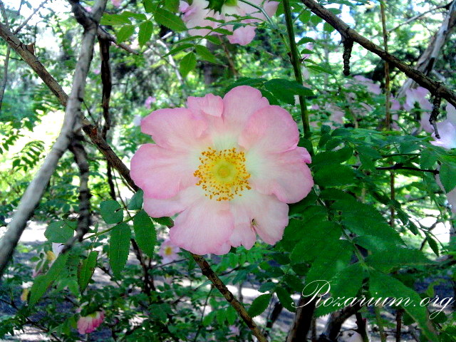 Rosa roxburghii normalis
